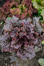 Curly Dark Red Lettuce Royalty Free Stock Photos - 40383148
