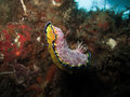 Nudibranch Royalty Free Stock Photography - 40385207