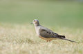 Mourning Dove On Grass Stock Photo - 40386480