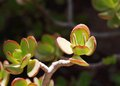 Beautiful Ornamental Succulent Plants Royalty Free Stock Images - 40413529