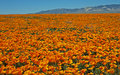 Ocean Of California Poppies Royalty Free Stock Photo - 40417435