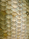 Fish Scales Royalty Free Stock Photo - 40435795