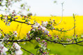 Branch Of A Blossoming Apple Tree Royalty Free Stock Image - 40445716