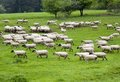 Sheep On Pasture Royalty Free Stock Image - 40448656