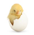 Cute Little Chicken Coming Out Of A White Egg Stock Photo - 40455510