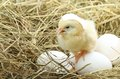 Cute Little Chicken Coming Out Of A White Egg Stock Photo - 40455540