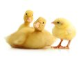 Cute Little Duckling Isolated Stock Photography - 40455562