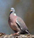Wood Pigeon Royalty Free Stock Images - 40460229