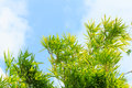 Bamboo Tree Leaf Branch Cloud Blue Sky Stock Photography - 40466652