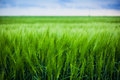 Green Wheat Stock Photos - 40477073