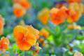 Pansy Flowers Stock Photography - 40483912