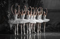 The White Swan Queue Stock Images - 40492784
