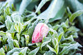 Frosted Garden Tulip Stock Images - 40493734