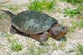 Snapping Turtle Stock Photo - 40494460