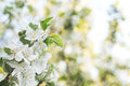 Apple Blossom Royalty Free Stock Images - 40494729