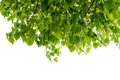 Bodhi Or Peepal Leaf From The Bodhi Tree Stock Images - 40496104