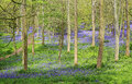 Spring Bluebells In An English Beech Wood Royalty Free Stock Photos - 40500238