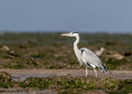 Grey Heron Stock Images - 40500484
