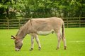 Donkey Royalty Free Stock Image - 40505196