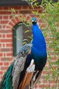 Proud Peacock Standing Stock Images - 40513724