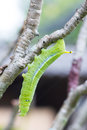 Green Caterpillar On A Tree Branch Royalty Free Stock Photography - 40519207