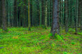Thick Dark Fir Forest Covered Royalty Free Stock Image - 40554606