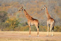 Giraffes Royalty Free Stock Photography - 40566167