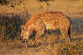 Spotted Hyena Stock Images - 40566294