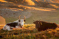 Two Yak Take Rest In The Meadow Stock Photos - 40568433