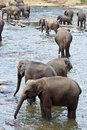 Flock Of Elephants In The River Stock Photography - 40579902