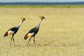 Crowned Crane Royalty Free Stock Photography - 40584057