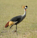 Crowned Crane Stock Photography - 40584212