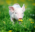 Young Pig On A Green Grass Royalty Free Stock Photo - 40584325