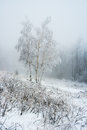 Coverage Birch Tree At Frozen Winter Forest Royalty Free Stock Photography - 40591597