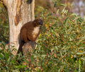 Red-bellied Lemur In A Tree Royalty Free Stock Photo - 40595665
