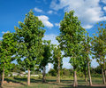 Teak Tree And The Blue Sky. Stock Photos - 40596973