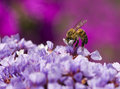 Bee And Flowers Royalty Free Stock Photos - 4068338