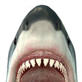 Great White Shark Jaws Royalty Free Stock Images - 40611559