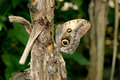 Polyphemus Moth - Brown Moth With Spots On Its Wings Royalty Free Stock Photo - 40632905