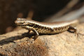 Australian Brown Lizard Stock Photography - 40633302