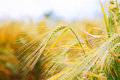 Close Up Of Ripe Wheat Ears Stock Photos - 40677883