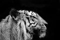Tiger Profile Royalty Free Stock Images - 40678999