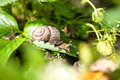 Snail (Helix Pomatia) Against  Strawberry Leaf Stock Images - 40697074