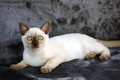 Burmese Kitten Royalty Free Stock Photos - 40699128