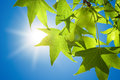 Sweetgum Leaves On Branch Against Blue Sky Stock Images - 40709344