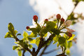 Apple Blossom Stock Images - 40727784