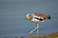 White-crowned Lapwing (Plover) (Vanellus Albiceps) Royalty Free Stock Image - 40772246