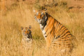 Tiger With Her Cub Royalty Free Stock Image - 40781776