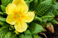 Yellow Primrose Stock Photo - 40783960