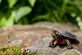 Eastern Painted Turtle Royalty Free Stock Images - 40787689